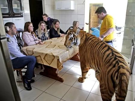 Meet The Man Who Lives With 7 Tigers And His Family