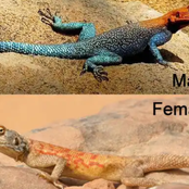 Facts About Agama Lizard That Your Teacher Might Not Have Taught You In Your Secondary School.