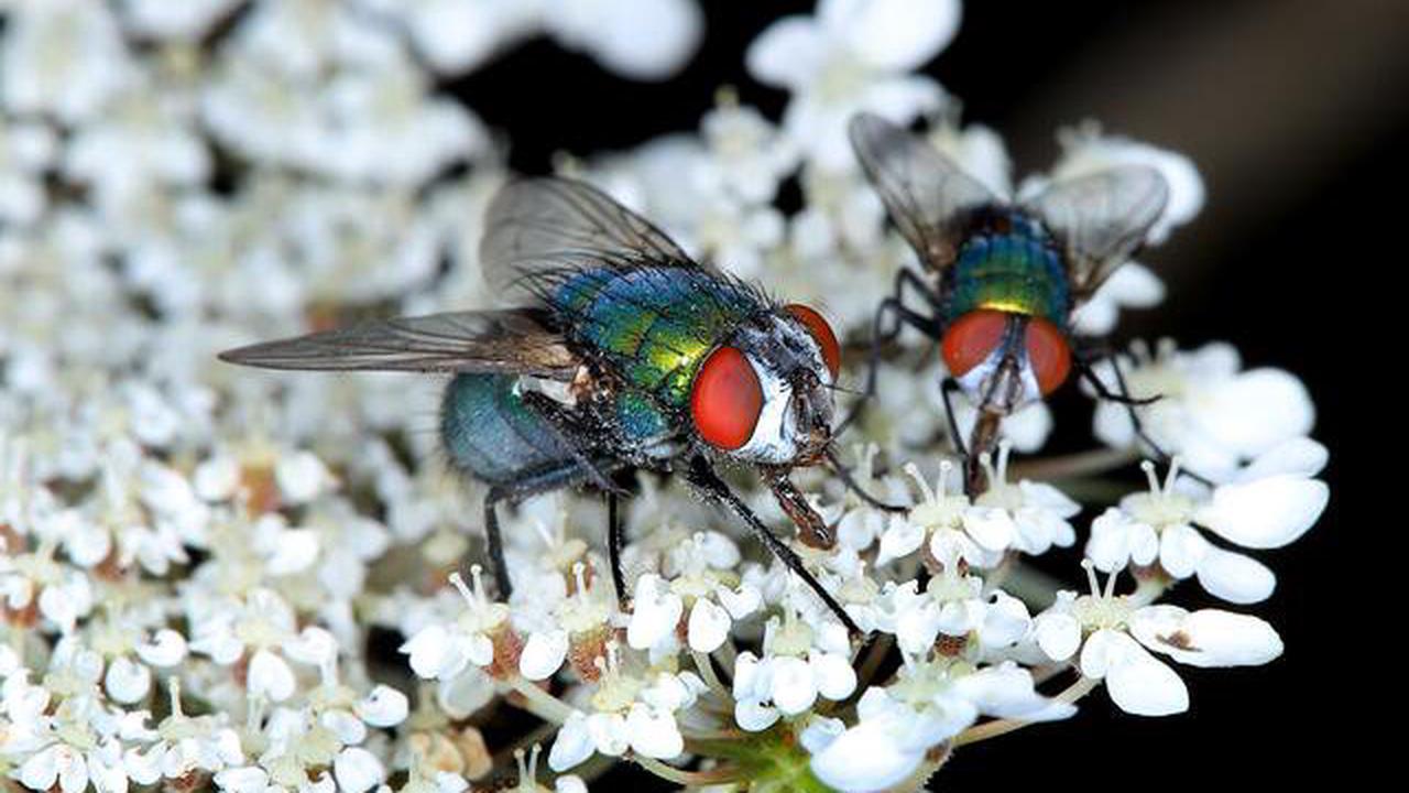 Zwei Goldfliegen auf der Blüte der Wilden Möhre, Lucilia sericata, blowfly
