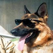 قصة مذهلة عن أغنى سلالة كلب في العالم.. ثروته خيالية!