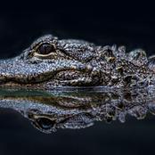Animal Farming 101: Is it safe to swim with alligators?