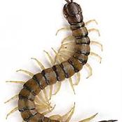 Centipedes Bites Poisonous? Here is how to Treat it