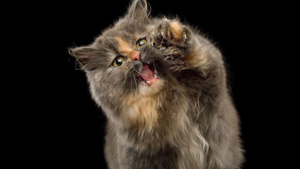 """Die """"Munchkin"""" - das Katzenäquivalent zum Dackel"""