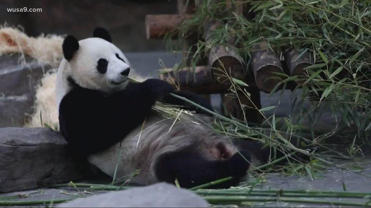 National Zoo pandas celebrate Mother's Day with a snuggle