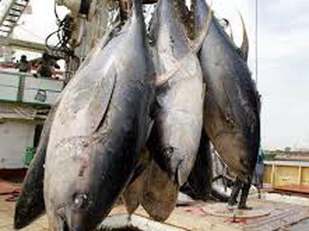 La Côte d'Ivoire 2ème exportateur de thon au monde mais combien d'Ivoiriens en consomment ?