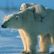 Top 10 Animals Endangered by Climate Change