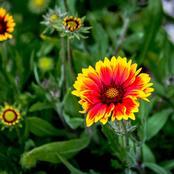 Garden Tips To Plant Helenium Flowers