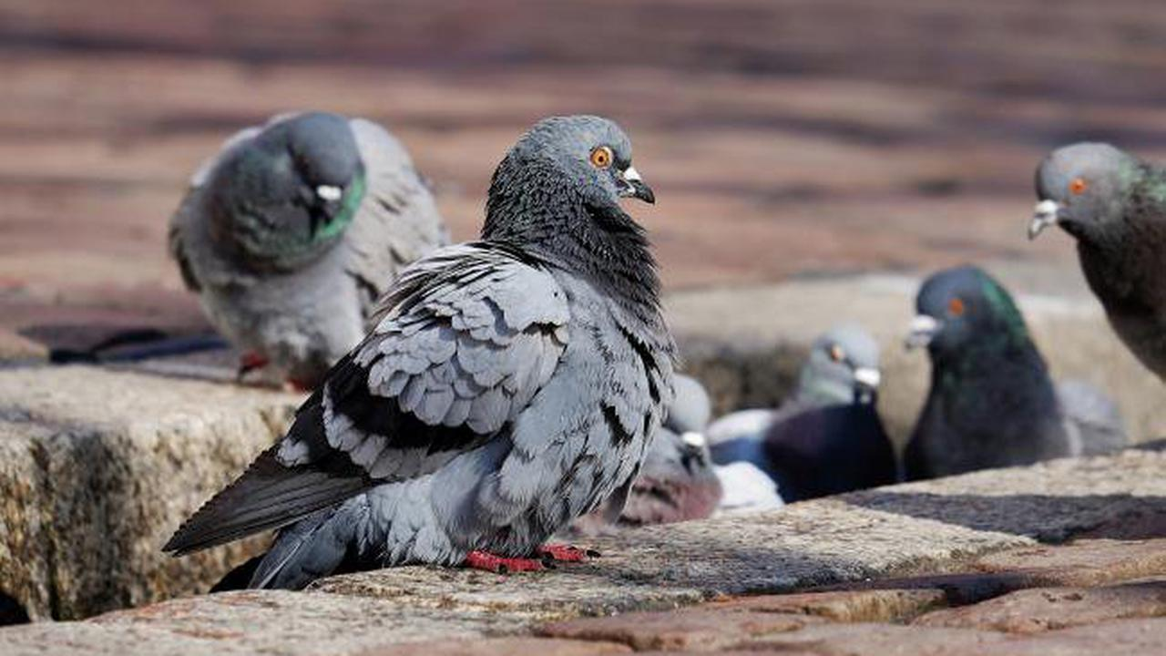 Anyone noticed the explosion in pigeons?