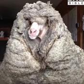 Meet Baarack, A Sheep That Run Wild For Five Years Only To Be Rescued With 77Pounds Of Wool (VIDEO)