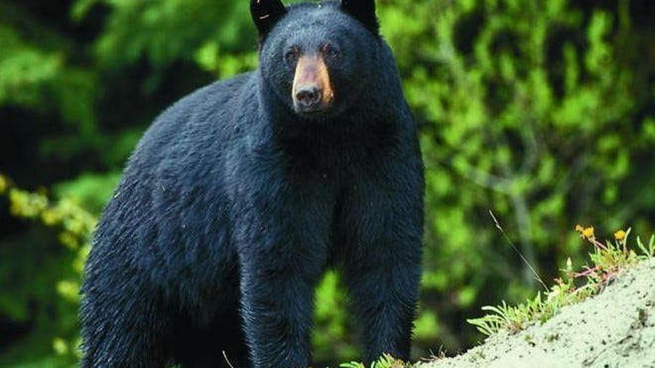 MDC offering permit applications during May for fall bear hunting