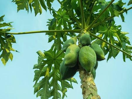 The health benefit of papaya leave is magical.