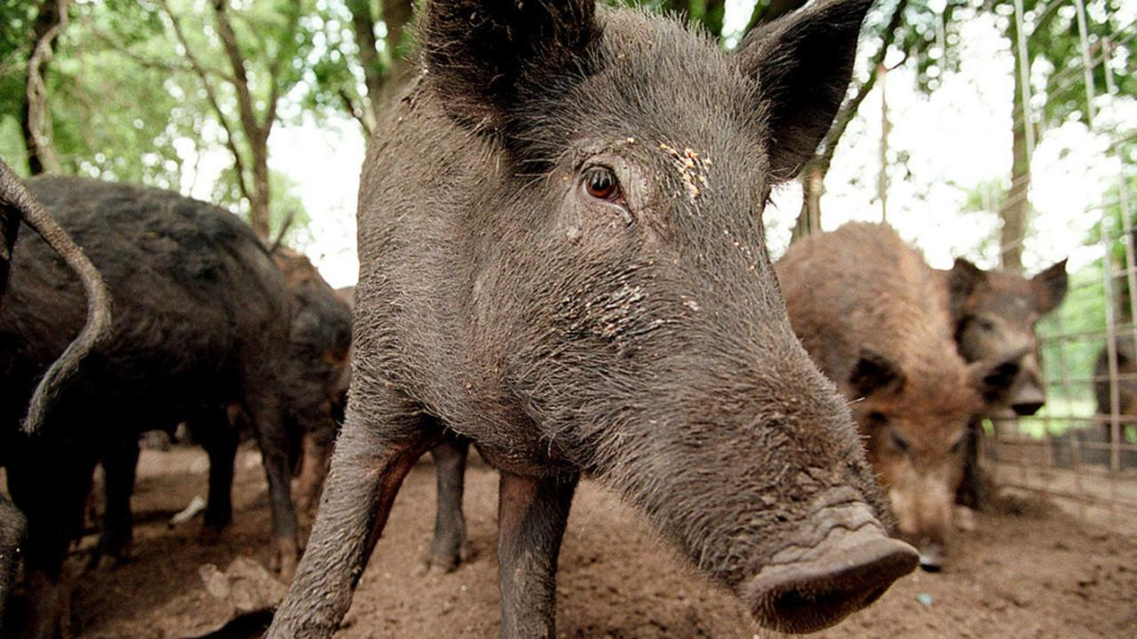 Florida Hunter Contracts Rare Brain Infection from Feral Hogs