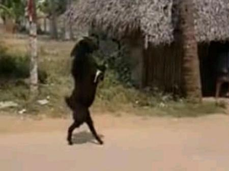 Wonders Will Never End: A Goat That Walks Like A Human Being Leaves Residents Speachless