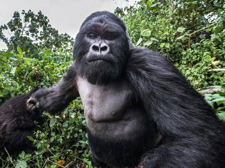 Are gorillas forceful or easygoing?