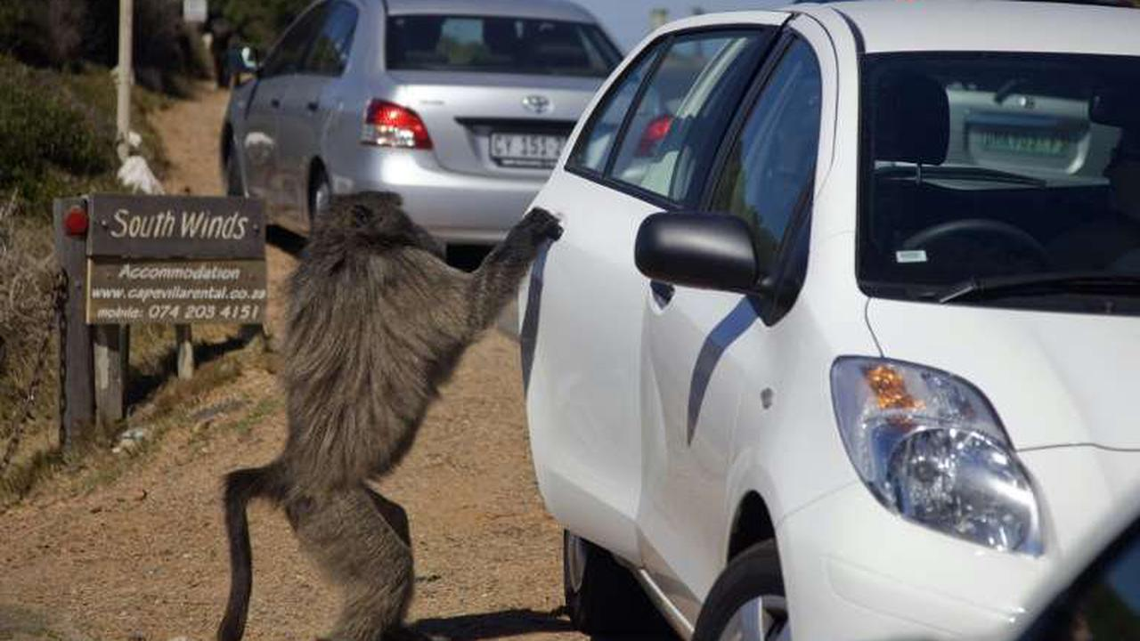 S.Africa's gangster baboon comes to an untimely end