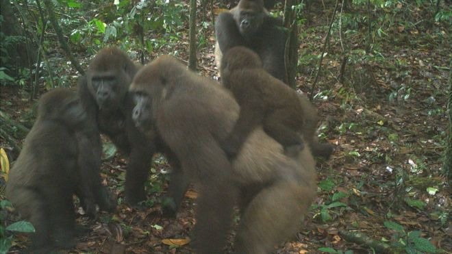 ded8a0e9451afccc060018da66b3fdef?quality=uhq&resize=720 - First Footage Of The World's Rarest Species Of Gorillas With Infants In Nigeria