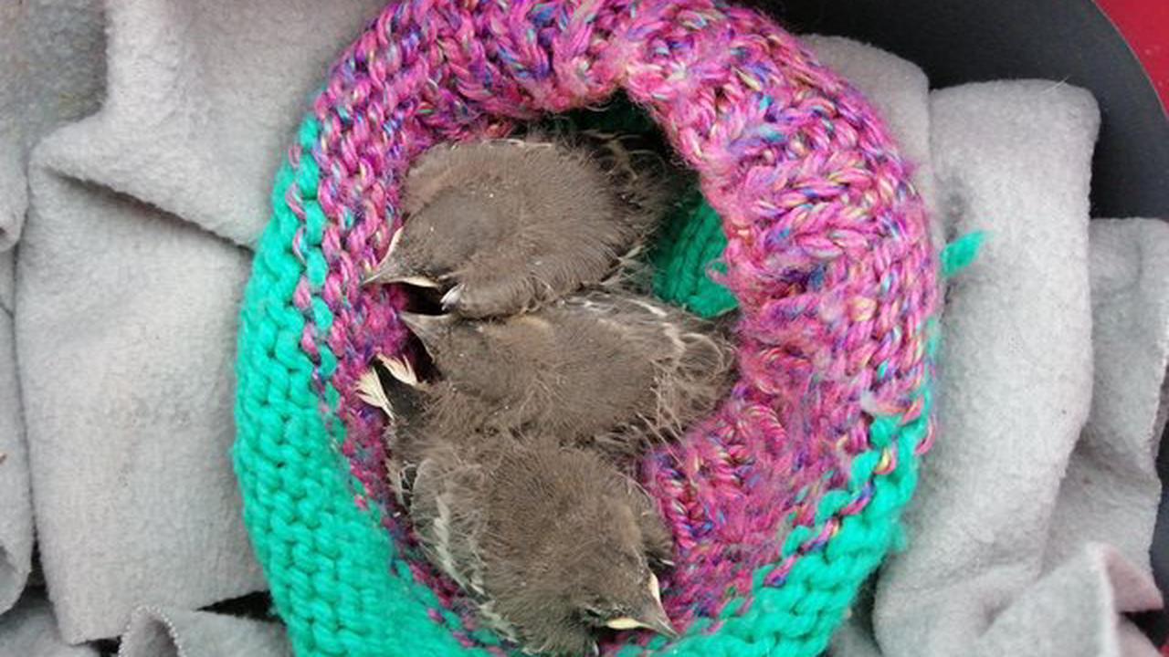 Three little birds rescued in Northern Ireland TV drama