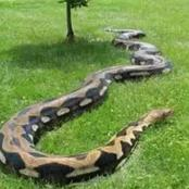 List Of Tribes In Nigeria That Reportedly Worship And Reverence Pythons