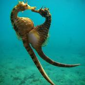 Male seahorses give birth to their offspring
