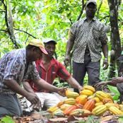 Prix d'achat du cacao : le Conseil Café Cacao monte au créneau et met en garde