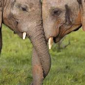 Et si les éléphants s'entendaient pour  nous éviter le cauchemar en Octobre?