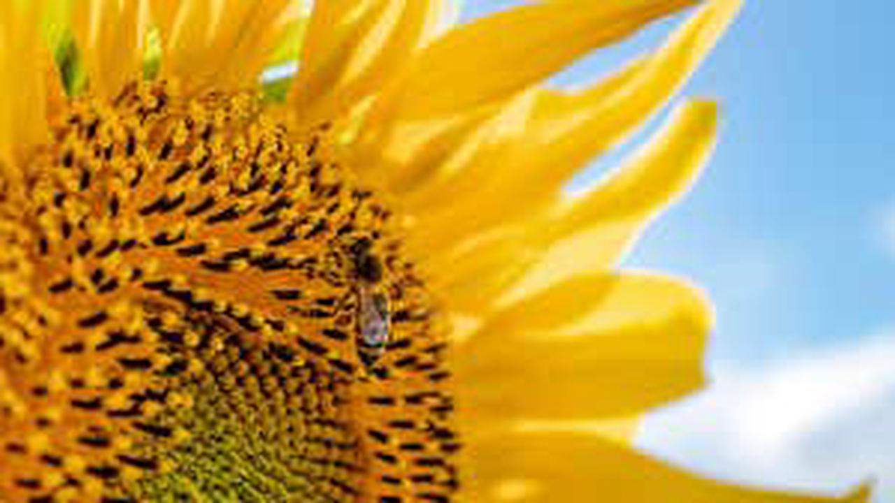 Entraîner les abeilles à préférer certains parfums de fleurs stimule la production de graines