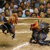Cock Kills Owner During Cockfight
