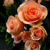كيفية زراعة الورد البلدى فى الحدائق