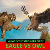An Eagle vs An Owl: The Battle of Large Birds