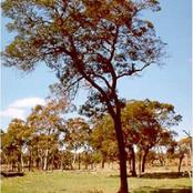 Wattle: The Tree that Introduced Kikuyu's to The International Cash Economy