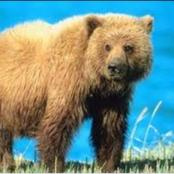 Facts about grizzly bear's