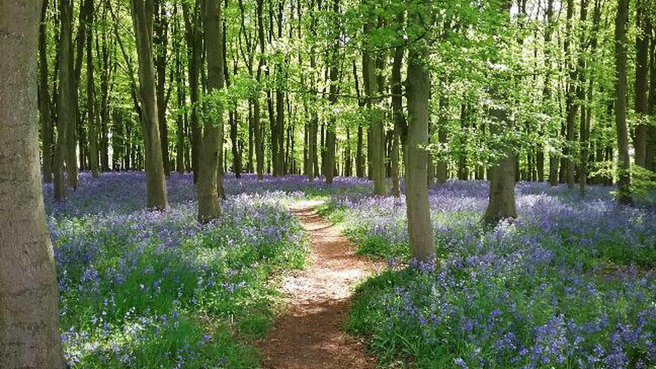 Where to see bluebells this weekend