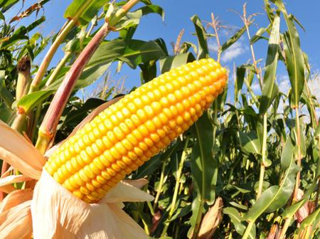 Check out the best ways to plant Maize manually and mechanically.