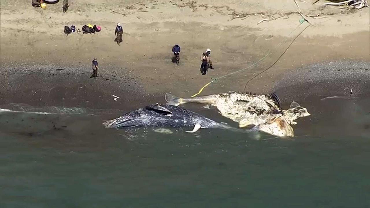 4 Dead Gray Whales Found in the Bay Area in Just Over a Week