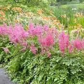 Garden Tips To Plant Astilbe Flowers