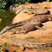 Over 100 crocodiles on the loose all over hazyview in Mpumalanga