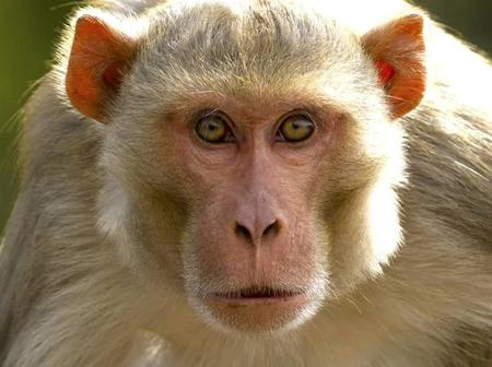 A monkey was sentenced to life imprisonment for attacking 250 people