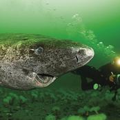 Des scientifiques découvrent un requin du Groenland âgé de 400 ans, probablement né vers 1620.