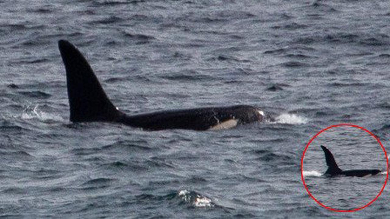 Killer whales spotted swimming off coast of Cornwall