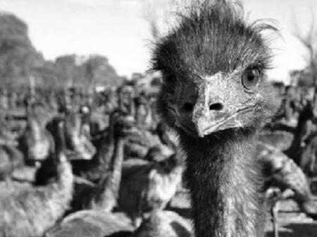 War Of 1932, This War Was Fought Between Humans And Emu Birds In Australia (The Birds Won Actually)