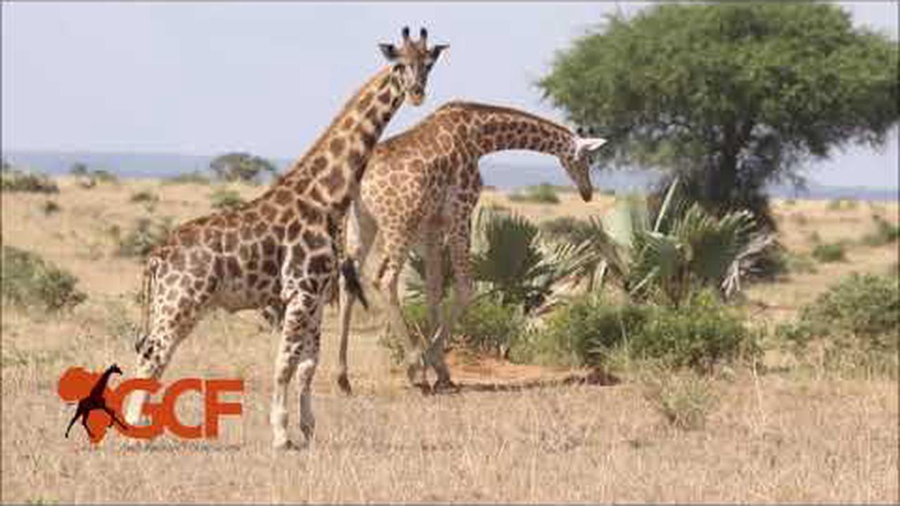 Scientists in 'Disbelief' After Discovering Dwarf Giraffes in Africa