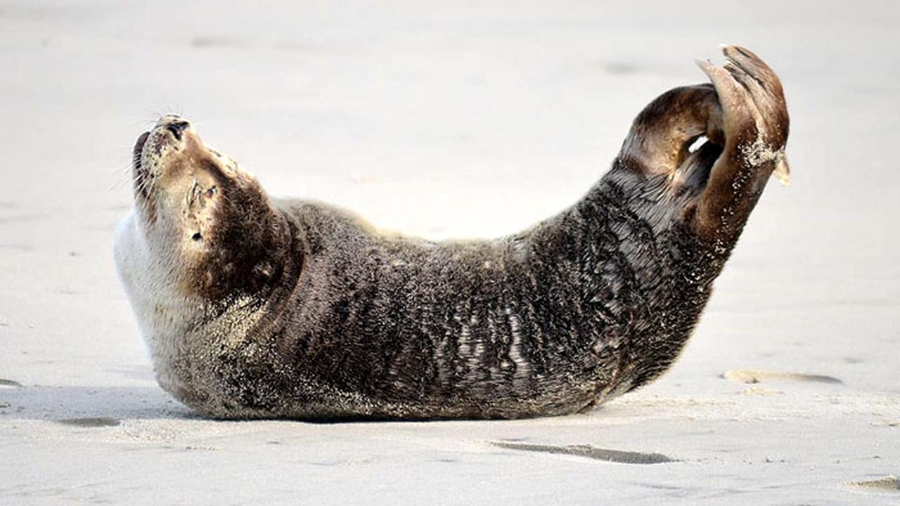 'Tis the season for visiting seals on the Outer Banks