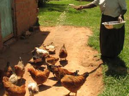 Get To Learn  Surprising Reasons Why A Luhya Homestead Will Hardly Miss A Chicken