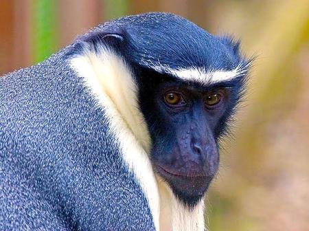 Roloway monkey is an endangered species