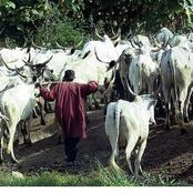 Fulani Cows Invaded Our Farm, Ate & Destroyed About ₦10million Worth Of Tomato Plants- Man Laments