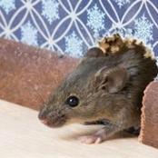 لماذا أمر الرسول بقتل الفأر؟
