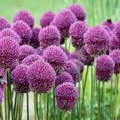 Garden Tips To Plant Allium Roseum Flowers