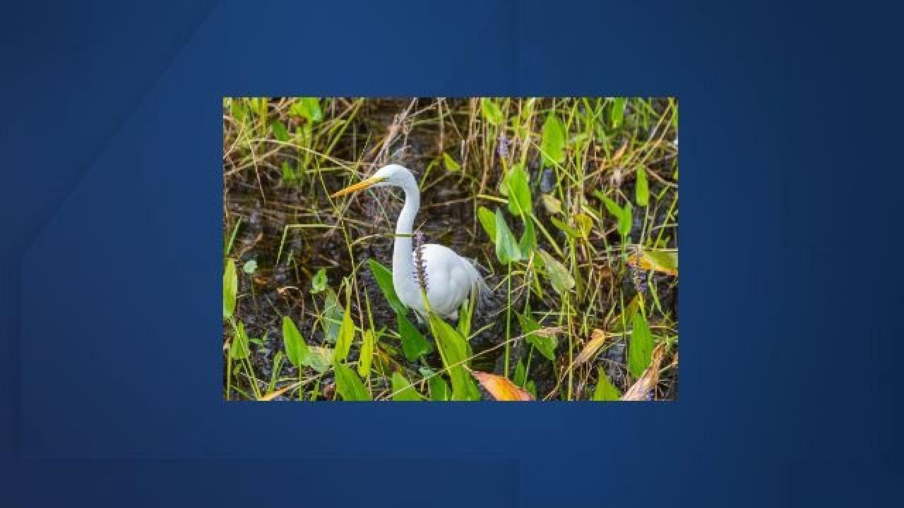 Big Cypress Basin provides $100,000 toward effort to restore ecologic function to wetland habitats