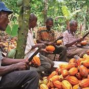 Le café et cacao payé à 850 francs aux planteurs dans le département de BONON