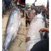 Photos of an unusual big fish that was reportedly killed in Rivers State today